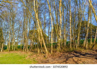 the trunks of silver birch trees  catching the sunlight on a bright spring day