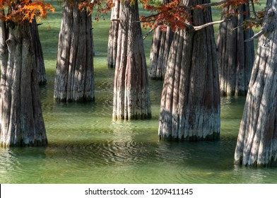 The trunks of swamp cypresses are completely unique in their beauty and texture. A group of cypress Taxodium distichum in a lake in Sukko, near the resort town of Anapa. Nature concept for design
