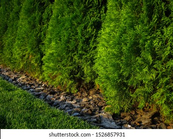 Trunks of thuja trees sprinkled with bark. Beautiful composition between the lawn, pieces of bark and needle arborvitae. Living fence made of thuja cottage trees