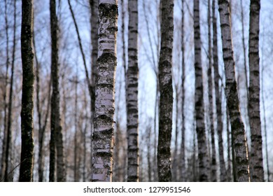 Trunks of trees in a birchwood.