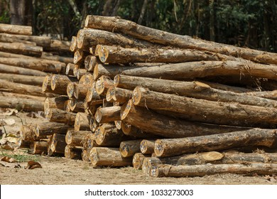 Trunks of trees cut and stacked Cut of an tree Teak on a pile Forests in Thailand.