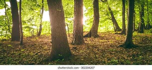 trunks of trees in the morning sun