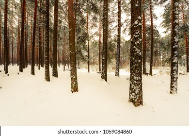 Trunks of trees in the winter pine forest. Russia, Europe. Beautiful nature. Yellow-blue toning.
