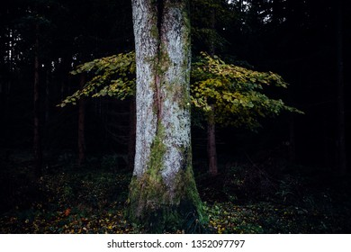 Trunks of trees with yellow leaves in front of a black dark forest