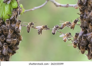 Trust in teamwork of bees linking two bee swarm parts. Bees make metaphor for business, concept of teamwork, partnership, cooperation, trust, community, bridging the gap, bridge, link, chain, nature.