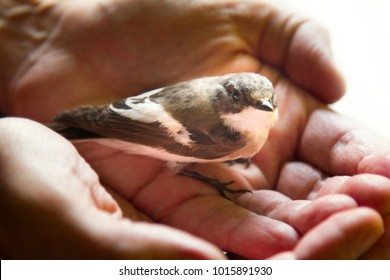 Trusting bird on palm of person. Symbol of unity of man and nature. Concept friendly environment, human world and green Earth, green world, preserve peace, good ecology. Pied flycatcher