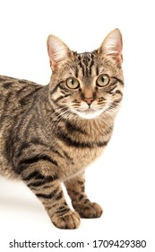 Trusting striped young cat sitting. Isolated on abstract blurred white background. Veterinary and advertising mockup. Detailed studio closeup