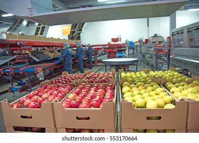 """Trybuhivtsi, Ukraine â?? December 14, 2016: Apples in boxes at factory in agroindustrial company """"Gadz"""" in Ternopil region."""