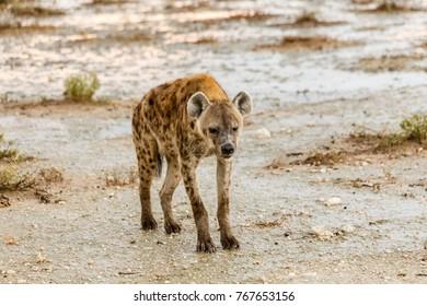 Tspottet hyena, Crocuta crocuta, Etosha National Park, Namibia