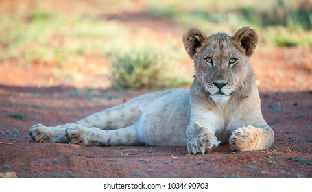 Tswalu Kalahari Reserve, Northern Cape, South Africa: Sub-adult Lion lying down with full belly in the Southern Kalahari.