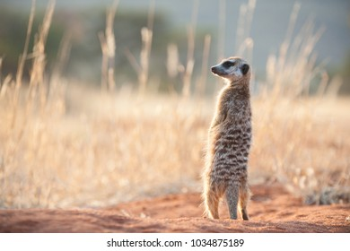 Tswalu Kalahari Reserve, Northern Cape Province, South Africa - 09/07/2017: A meerkat stands lookout for any predators in the Southern Kalahari