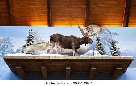 """""""Tualatin Oregon, USA - July 21, 2018: An upward view of Cabelas taxidermy display with a moose being attacked by two wolves """""""