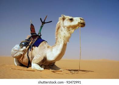 A Tuareg camel with saddle resting in the Sahara desert