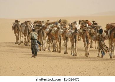 Tuareg nomads of the Berber tribe tend to a camel caravan hauling salt in the sahara Desert of Mali near  Timbuktu