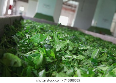 A tub full of green tea leaves / Tea production processing -Drying