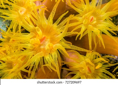 Tubastrea, also known as sun coral or sun polyps, is a genus of coral in the phylum Cnidaria. It is a cup coral in the family Dendrophylliidae.