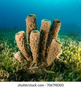 Tube sponges in sea grass