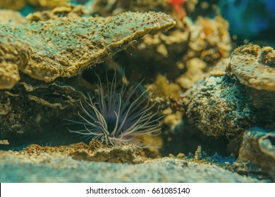 Tube-dwelling anemone (ceriantharians). Underwater wildlife abstract wallpaper. Closeup. Shallow focus.