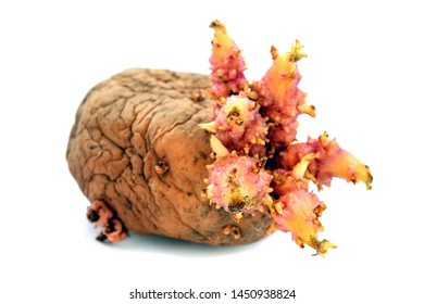 Tuber potato with sprouts isolated on white background. Sprouted old potato tuber in spring before planting. Potatoes with pink seeds on a white background.