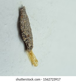A tubular case of casemaking clothes moth, pests that can destroy fabric and other materials, hang on cement wall in house