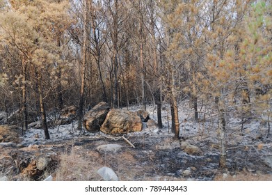 Tucepi, Dalmatia, Croatia - June 24, 2017:  Ashes is laying on the ground while burnt down trees are seen after  fire under Biokovo mountain. Forest fires are very common during summers in Croatia.