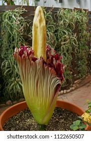 Tucson, AZ, USA - April 24, 2018: Rosie, the corpse flower is blooming in the Botanical Garden