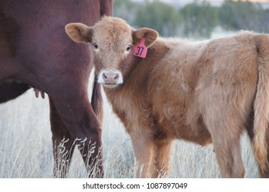 Tucumcari, New Mexico/USA- November 5, 2014: A horizontal closeup image of a brown heifer and her calf on a dirt path on a cow farm in the southwest.