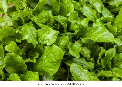 Tuft of fresh sorrel closeup. View top As agricultural background