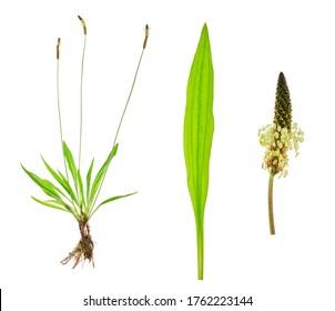 Tuft ribwort (Plantago lanceolata) on white background. Herb used in alternative medicine.