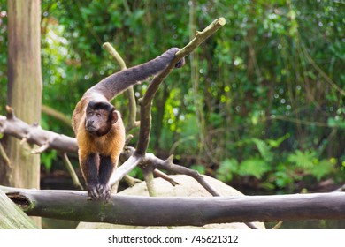 The tufted capuchin, also known as brown capuchin, black-capped capuchin, Cebus apella, or pin monkey is a New World primate from South America.