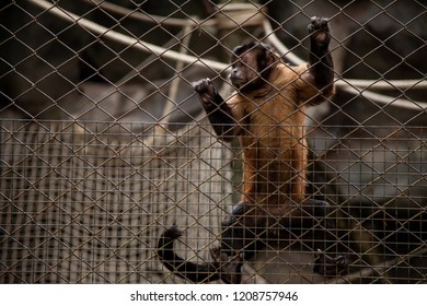 tufted capuchin monkey (Cebus apella) looking out through the cage.