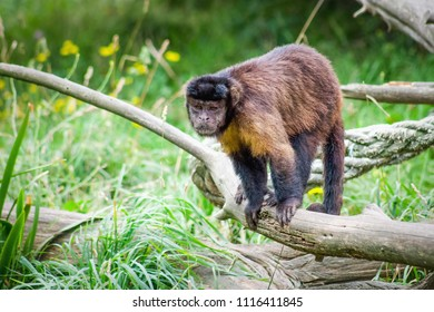 Tufted Capuchin Monkey also known as brown capuchin, black-capped capuchin or pin monkey is a New World primate from South America.