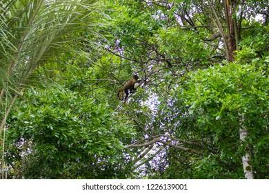 Tufted capuchin monkey on the nature in Pantanal, Brazil. Brazilian wildlife. Sapajus apella