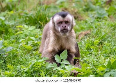 Tufted capuchin monkey portrait