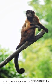 The tufted capuchin (Sapajus apella), also known as brown capuchin, black-capped capuchin, or pin monkey is a New World primate from South America.