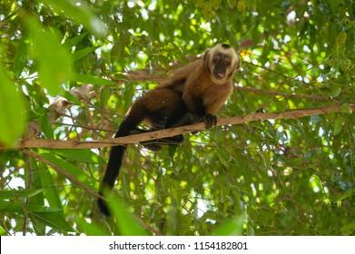 Tufted capuchin (Sapajus apella) in Tambopata National Reserve, Peru