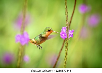 Tufted Coquette (Lophornis ornatus) hovering next to violet flower, bird in flight, caribean Trinidad and Tobago, natural habitat, beautiful hummingbird sucking nectar,colouful clear background,female
