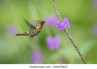Tufted Coquette (Lophornis ornatus) hovering next to violet flower, bird in flight, caribean Trinidad and Tobago, natural habitat, beautiful hummingbird sucking nectar, colouful clear background