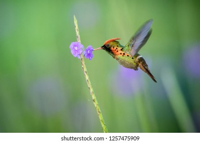 Tufted Coquette (Lophornis ornatus) hovering next to violet flower, bird in flight, caribean Trinidad and Tobago, natural habitat, beautiful hummingbird sucking nectar,colouful clear background