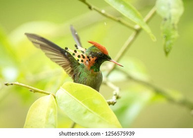 Tufted Coquette (Lophornis ornatus) sitting on branch, bird from caribean tropical forest,Trinidad and Tobago, beautiful colorful hummingbird sitting in the rain and stretching wings,scene from nature