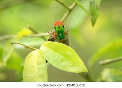 Tufted Coquette (Lophornis ornatus) sitting on branch, bird from caribean tropical forest, Trinidad and Tobago, beautiful colorful hummingbird sitting in the rain and enjoying shower,scene from nature