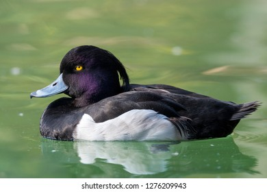 The tufted duck (Aythya fuligula)