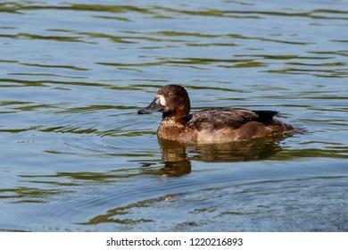 Tufted duck female swimming on water. Cute brown waterbird. Bird in wildlife.
