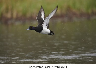 Tufted Duck flying above a lake