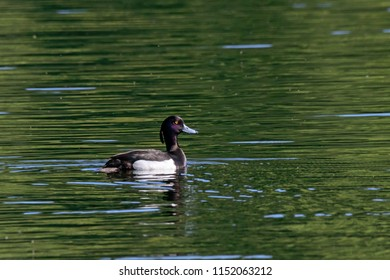 Tufted duck male swimming on water. Cute contrast waterbird. Bird in wildlife.