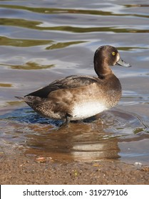 Tufted duck in the river