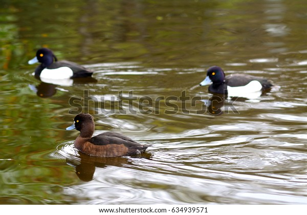 Tufted ducks, Dublin, Ireland