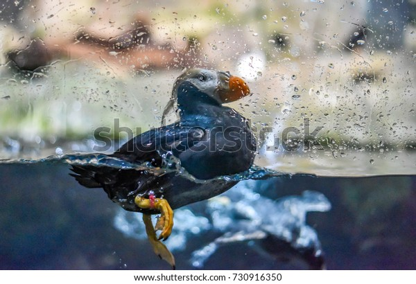 A Tufted Puffin splashes in the water of an aquarium exhibit.