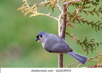 Tufted Titmouse (Baeolophus Bicolor) Perched on a Tree in Autumn