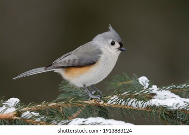 Tufted Titmouse (Baeolophus bicolor) perched on a spruce branch in winter - Grand Bend, Ontario, Canada